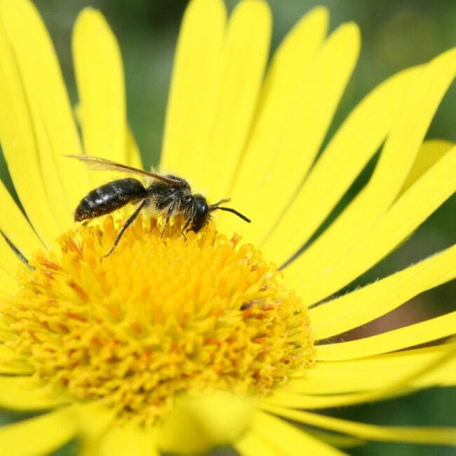 doronic abeille